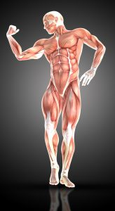 3D render of a medical figure bodybuilder with muscle map in a bodybuilding pose