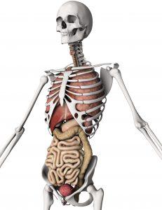 3D render of a skeleton with internal organs